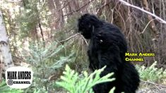 Yeti Bigfoot, Bigfoot Sasquatch, Bigfoot Pictures, Bigfoot Pics, Bigfoot Footage, Bigfoot Video, Pie Grande, Anthropology Major, Giant Skeleton