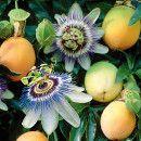 Maracuyá para estimular el metabolismo, aliviar dolores y cuidar la vista ecoagricultor.com