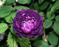 Cardinal de Richelieu rose. Single (early summer) bloomer, needs full sun. Shrubby and wider than it is tall.
