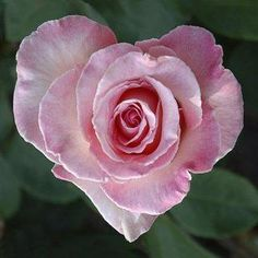 heart shape pink rose