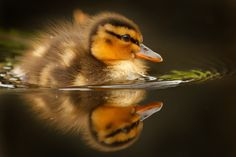 A New Spring by Roeselien Raimond --cute little duckling Bird Pictures, Pictures To Draw, Cute Ducklings, Save Mother Earth, Aquatic Birds, Funny Duck, Baby Ducks, All Gods Creatures, Nature Animals