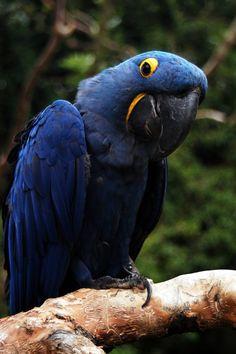 blue hyacinth macaw