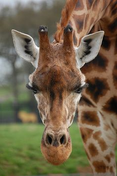 Woburn Abbey: Giraffe | by --CWH--
