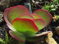 Kalanchoe Luciae - Flapjack, palette végétale, Dessert chou succulente - tolérant à la sécheresse, xéropaysagisme, aménagement paysager, peu d'entretien