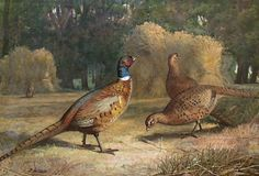 Archibald Thorburn (1860 - 1935) Pheasants Gouache