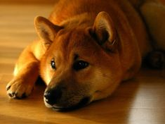 While kids are obsessed with Fidget Spinners, dogs aren't finding them amusing! Check out this dog news story about one Shiba Inu who just isn't impressed! Fox Terriers, Akita, Chien Shiba Inu, Pancreatitis In Dogs, San Bernardo, Hachiko, Pet Dogs, Pets, Pug Puppies