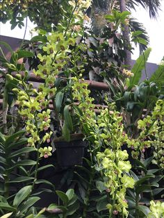 Anggrek dendrobium Green Orchid, White Orchids, Flowers, Gardening, Plants, Orchids, Royal Icing Flowers, Flower, Florals