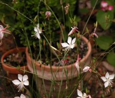 Top Plant Choices to Include in Your First Garden: Gaura lindheimeri, Wand Flower