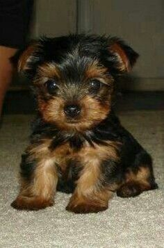 """35 Yorkshire Terrier """"Yorkie"""" Puppies You Will Love Tiny Puppies, Best Puppies, Cute Dogs And Puppies, I Love Dogs, Teacup Yorkie, Yorkie Puppy, Tea Cup Yorkie Puppies, Chihuahua, Dalmatian Puppies"""