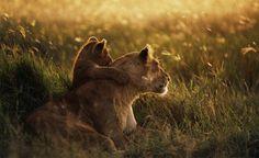 lion mother and cub hug