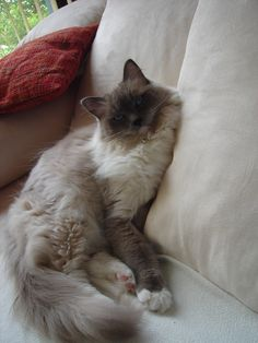 My Dear Ragdoll Cat Valentino On The Couch Ragain Cats