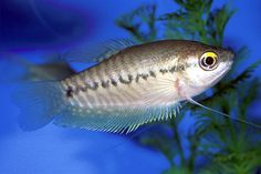 Snakeskin Gourami-                                                                            Trichogaster pectoralis