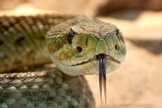 Snake venom is a combination of potent toxins produced in venom glands. Here's how snake venom works to poison and incapacitate prey. Serpent Venimeux, Serpent Animal, Types Of Snake, Les Reptiles, Amphibians, Snake Venom, Dangerous Animals, Unbelievable Facts