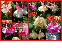 More of my Fuchsias | Flickr - Photo Sharing!