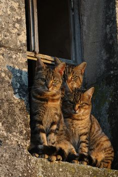 Tabby Cats How may tabbbies does it take to fit on a window ledge? - How may tabbbies does it take to fit on a window ledge? Cool Cats, I Love Cats, Crazy Cats, Pretty Cats, Beautiful Cats, Animals Beautiful, Cute Animals, Gatos Cool, Animal Gato