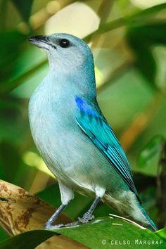 Sanhaçu-de-encontro-azul ou Tanager de ombros azuis (Tangara cyanoptera)