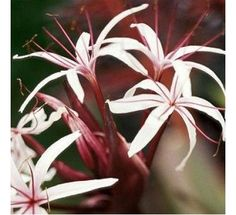 Crown Dwarf Lily - Crinum Lily Pink270