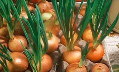 postup: Nalijte do nádoby vodu a umístěte do ní kartonové obaly na vejce. Jak nádoba může posloužit pekáč nebo plastové obaly od vajec. Sazenice cibule ošetřete v teplé vodě. Voda by měla mít teplotu zhruba 40 °C a sazenice byste v ní měli nechat asi 10 minut. Pak je vložte do kartonového obalu na vejce. … Pergola, Vegetables, Gardening, Garden Landscaping, Landscape, Dream Homes, Plants, Hydroponics