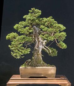 Collected Spruce Bonsai   European spruce, Picea abies, collected in 2002. Second image as of ...