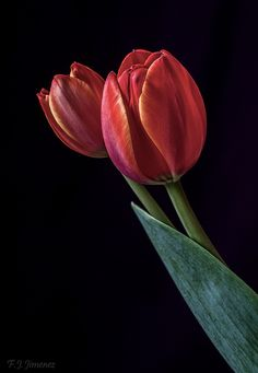 Tulips by Fco. Javier Jimenez on 500px