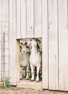 Burlap and Hay: good names for goats. Country Farm, Country Life, Country Girls, Country Bumpkin, Country Living, Country Roads, Farm Animals, Cute Animals, Cute Goats