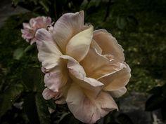 Uma rosa...