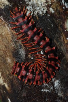˚Armoured Millipede (Diplopoda>Polydesmida)