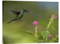 Sword-Billed Hummingbird and Insect, Ecuador – Explosion Luck