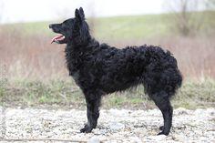 Croatian Shepherd Dog.