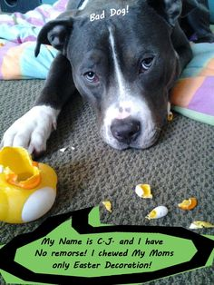 My name is CJ and I have no remorse! I chewed My mom's only easter decoration!