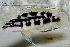 Julidochromis transcriptus, Swarzweiß Schlankcichlide