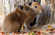 Two baby capybaras explore their enclosure on November 3, 2011 at the zoo in…