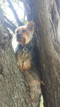 Just hanging around waiting for a squirrel. #yorkshireterrier