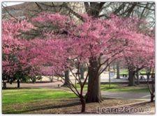 japanese apricot tree - Google Search