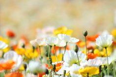 Gele Klaprozen - Yahoo Zoekresultaten van afbeeldingen
