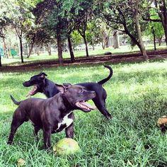 staffy dogs