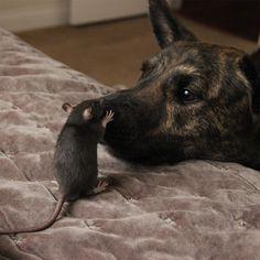Osiris & Riff Ratt - Dutch Shepherd & Fancy Rat friends