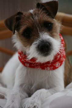 Parson Russell Terrier, like my Cesar. What cheekiness that cute face has.