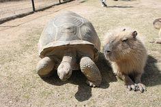 カピバラ Capybara | Flickr - Photo Sharing!