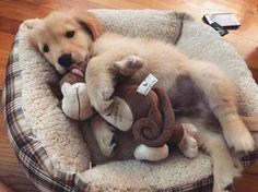 いいね!1,037件、コメント39件 ― Golden Retriever Loveさん(@goldenlove.insta)のInstagramアカウント: 「Cuddles with my monkey  Have a nice day!  Credit to @kodygoldenpup  Follow me @goldenlove.insta…」
