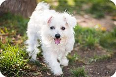 Los Angeles, CA - Maltese/Poodle (Miniature) Mix. Meet Pita, a puppy for adoption. http://www.adoptapet.com/pet/13155260-los-angeles-california-maltese-mix