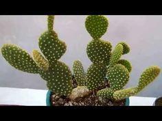 Como injertar cactus 4 - YouTube