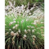 Pennisetum Hameln Ornamental grasses have become very popular over the last few years due to prairie style plantings. They provide structure and elegance in the garden border. Grasses also work well in the cutting garden to mix with cut flowers. Landscaping Plants, Garden Plants, Landscape Design, Garden Design, Fountain Grass, Sensory Garden, Australian Garden, Plant Images, Gardens