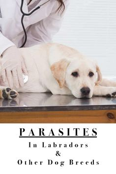 Parasites In Labradors and Other Dog Breeds - A dog health guide