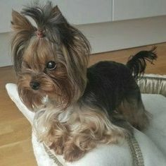 Teacup Yorkie, Yorkie Puppy, Cute Animals Images, Terrier Breeds, Yorkshire Terrier Puppies, Dog Rules, Small Dog Breeds, Dog Grooming, Fur Babies