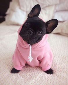 Frenchie World® Basic Dog Hoodie Dogs bulldog puppies Cute Dogs And Puppies, Baby Dogs, Pet Dogs, Doggies, Cute Animals Puppies, Samoyed Dogs, Rescue Dogs, Cute Funny Animals, Cute Baby Animals