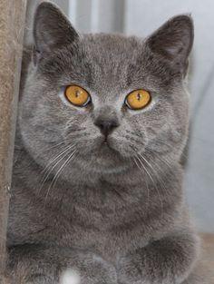 British Shorthair blue - Leonix British Shorthair and Devon Rex