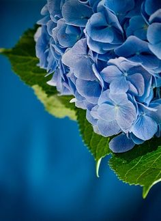 Beautiful Blue HydrangeaPhotography by  гортензия on Flickr.Source: https://www.flickr.com/photos/25167855@N07/3918466641/in/photostream