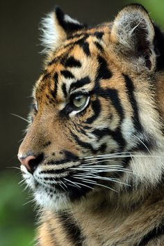 A tiger represents powerful energy. Pretty Cats, Beautiful Cats, Animals Beautiful, Big Cats, Cats And Kittens, Cute Cats, Animals And Pets, Funny Animals, Cute Animals