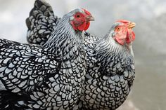 Silver Laced Wyandotte: Egg Production, Temperament and More… Silver Laced Wyandotte Chickens, Blue Laced Wyandotte, Spirit Animal Totem, Animal Totems, Black And White Chickens, Duck Coop, Chicken Breeds, Raising Chickens, Chickens Backyard